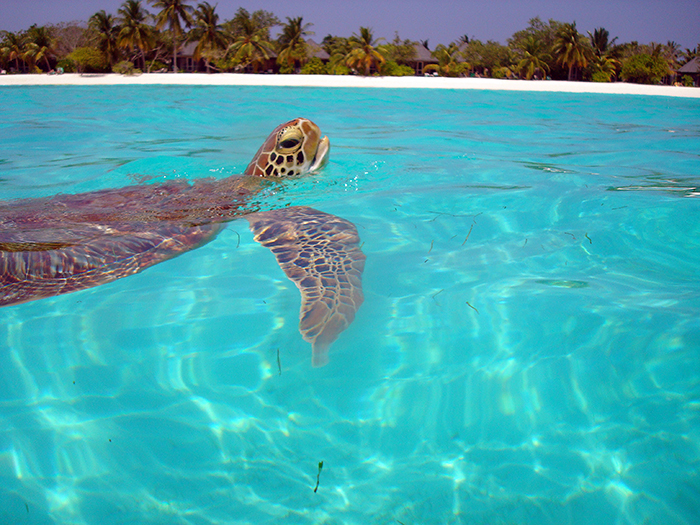 2008 green turtle on surface